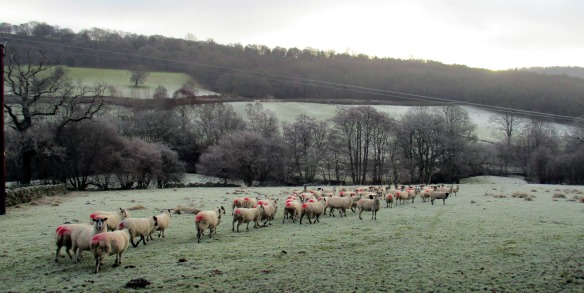 Sheep going somewhere, in a wintery Bilsdale. Copyright Roy McGhie, NYMNPA.