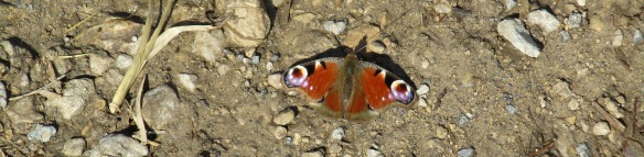 Peacock butterfly, spotted in Boltby Quarry. Copyright Roy, McGhie, NYMNPA.
