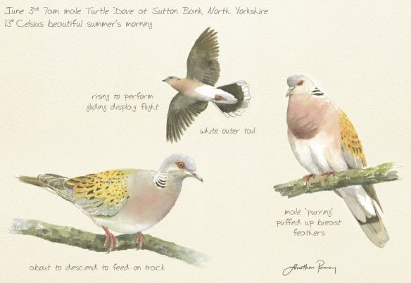 Sketches of Turtle Dove by Jonathan Pomroy