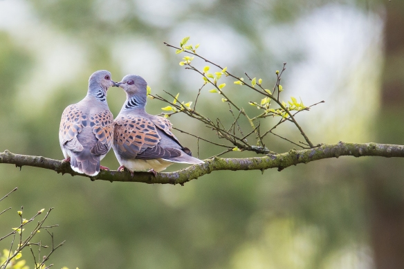 Turtle Doves at Sutton Bank, 2015 - copyright Richard Bennett