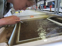 Cleaning juvenile trays. Copyright FBA.