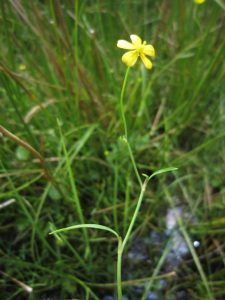 Lesser spearwort. Copyright NYMNPA.