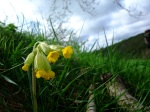 Roadside Cowslip - copyright NYMNPA