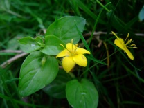 Yellow Pimpernel - copyright NYMNPA