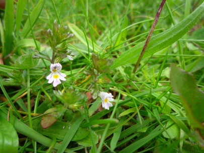 Eyebright, Sutton Bank - copyright Kirsty Brown, NYMNPA
