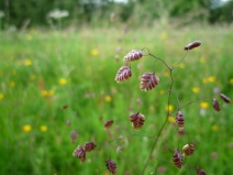 Quaking Grass, Sutton Bank - copyright Kirsty Brown, NYMNPA