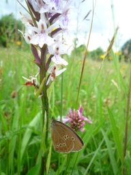 Ringlet butterfly on orchid, Sutton Bank - Kirsty Brown, NYMNPA