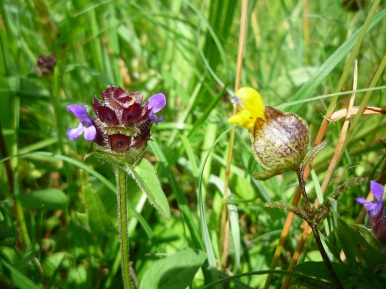 Self-Heal and Yellow Rattle at Sutton Bank - copyright Kirsty Brown, NYMNPA