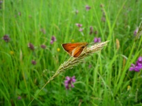 Small Skipper butterfly - copyright Kirsty Brown, NYMNPA