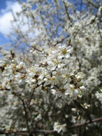 Blossom in Caydale - copyright Roy McGhie, NYMNPA