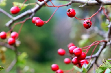 Close up of hawthorn berries, Levisham Estate - copyright Alasdair Fagan, NYMNPA