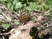 Speckled Wood butterfly - copyright NYMNPA