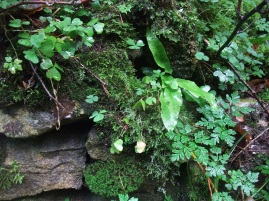 Ferns and other shade loving plants growing on a stony structure - copyright NYMNPA