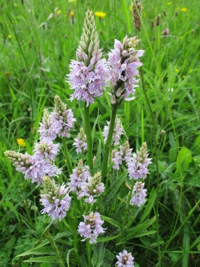 Common spotted orchids - copyright NYMNPA
