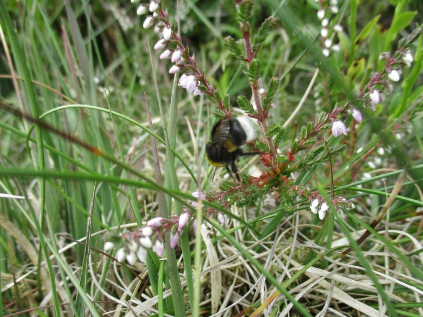 Bee on heather - copyright NYMNPA