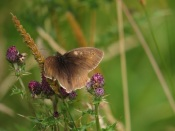 Meadow brown butterfly. Copyright NYMNPA.