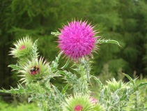 Musk Thistle, Snilesworth - copyright NYMNPA