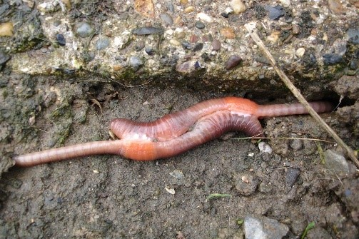 What is known about worms...all earthworms are hermaphrodites - mating head-to-tail by covering themselves in mucus and exchanging sperm. From Science Learning Hub.