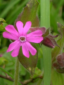 Red Campion - copyright NYMNPA