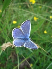 Blue butterfly, Wass Bank - copyright NYMNPA