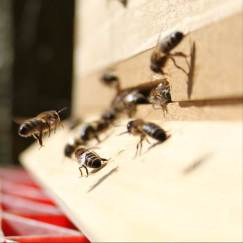 Domestic honey bees