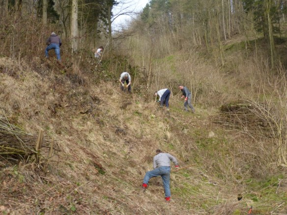 MAD Volunteers clearing away some of the scrub from a Duke of Burgundy site - you can see the patches of primroses which along with cowslips are requirements for the species. Copyright NYMNPA.