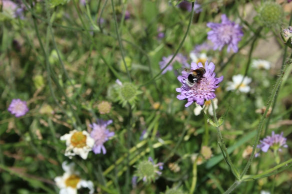 Wild bee on Field Scabious