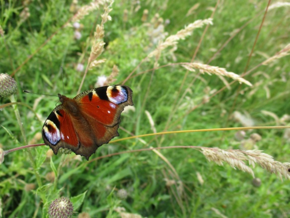 Peacock butterfly. Copyright Abi Duffy, NYMNPA.
