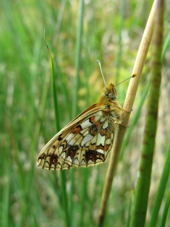 Small pearl bordered fritillary, North York Moors. Copyright NYMNPA.
