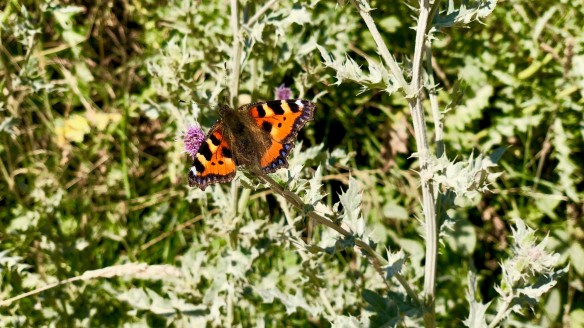 Small tortoiseshell, North York Moors. Copyright Abi Duffy, NYMNPA.