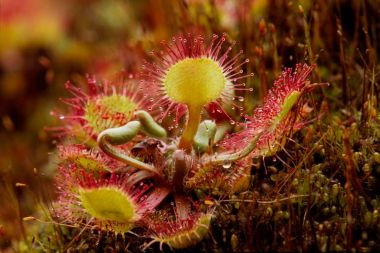 Round leaved sundew. © Laurie Campbell, Plantlife