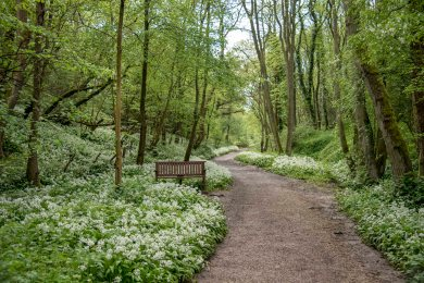Rail Trail, Goathland Incline, with wild garlic. Copyright NYMNPA.