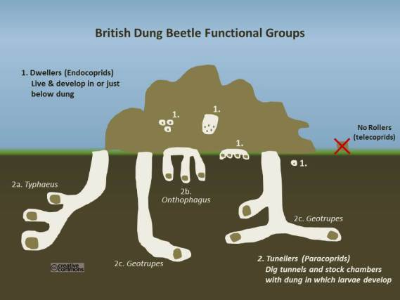 How the different groups of British Dung beetles utilise dung in different ways. Copyright Dung Beetle UK Mapping Project.