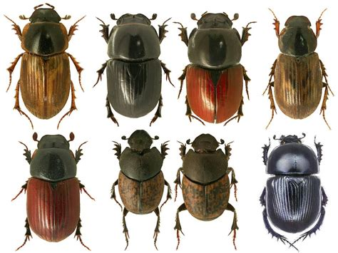 Some of the British Dung beetles. Copyright Beetle UK Mapping Project.