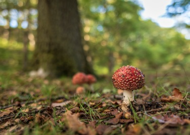 Fly agaric . Copyright Tom Mutton, NYMNPA.