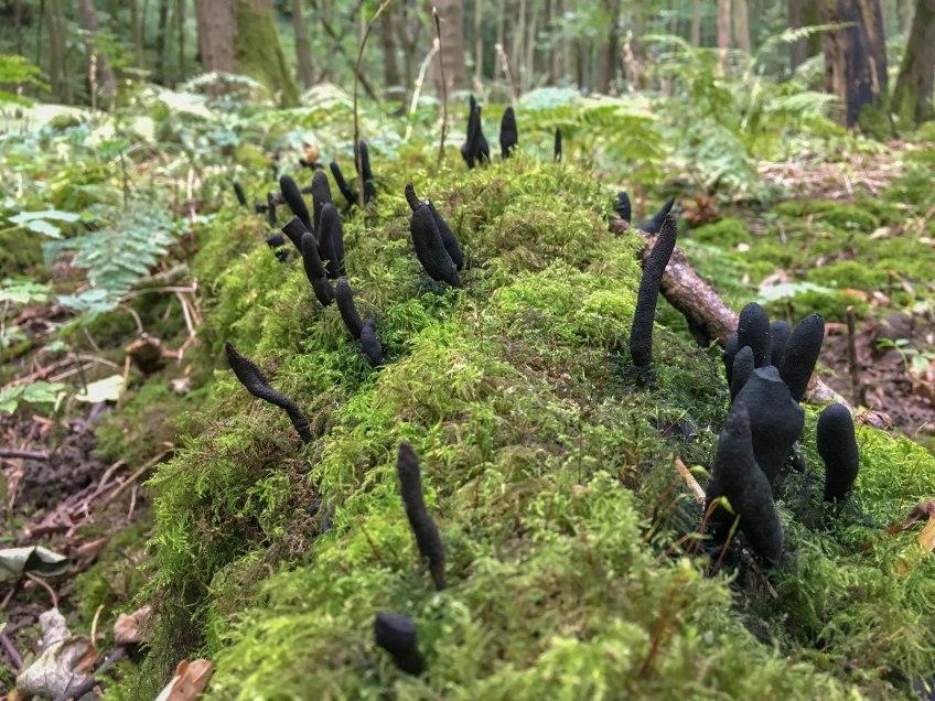 Fungi - Dead molls fingers. Copyright NYMNPA.
