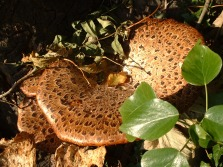 Fungi on tree (from above). Copyright NYMNPA.