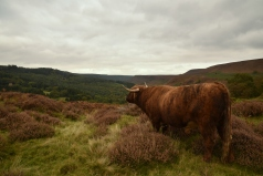 Highland Cow, Levisham Estate - copyright Sam Newton, NYMNPA..