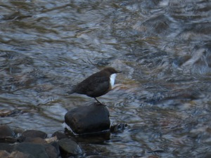 Dipper, in River Rye at Duncombe Park. Copyright NYMNPA.