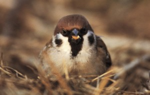 Close up of Tree Sparrow - RSPB https://www.rspb.org.uk/birds-and-wildlife/wildlife-guides/bird-a-z/old-world-sparrows/