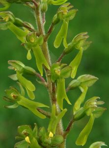 Close up of Common Twayblade flowers, Monks Dale in Derbyshire copyright RWD from wildflowerfinder.org.uk. The tiny flowers are said to look like tiny people if you look carefully..