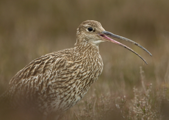 Curlew - image credit: Steve Race.