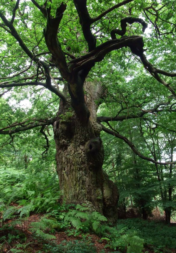 One of the Veteran Trees in the Deer Park. Copyright NYMNPA.