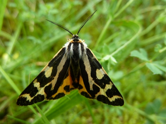 Wood Tiger Moth - image credit: Allan Rodda.