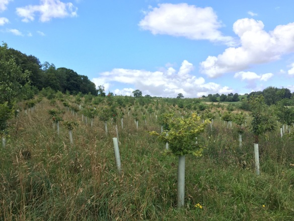 Skipster Hagg. When the right site is chosen to plant woodland the rate at which the young saplings grow can be surprising. Copyright NYMNPA.