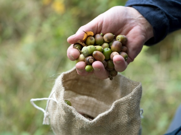 One of the many handfuls of acorns that made up the 25,000 that were collected in 2018. Photo credit – Tessa Bunney.