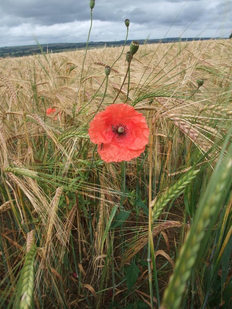 Barley field by Sarah Bolton. Copyright NYMNPA.