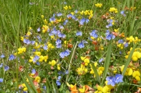 Birdfoot trefoil and Speedwell by Tammy Andrews
