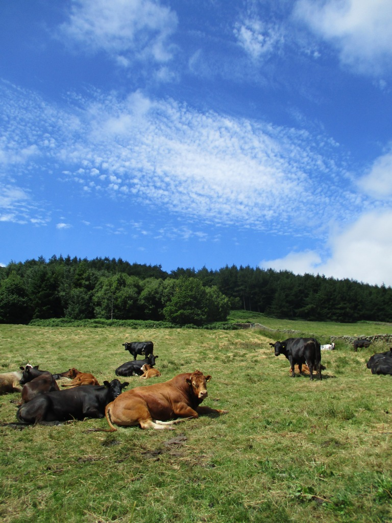 Cattle at Malkin Bower summer by Claire Bending