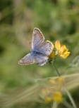 Common blue butterfly. Copyright NYMNPA.